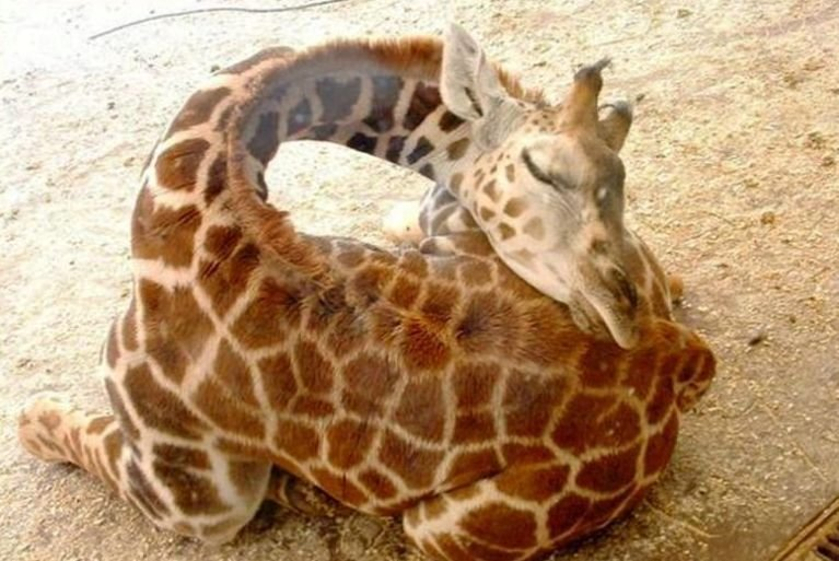 ive always curious giraffes slept now know pic