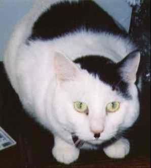 kitler1 - cats that look like hitler