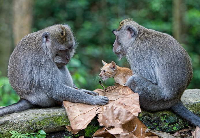 long tailed macaque mon