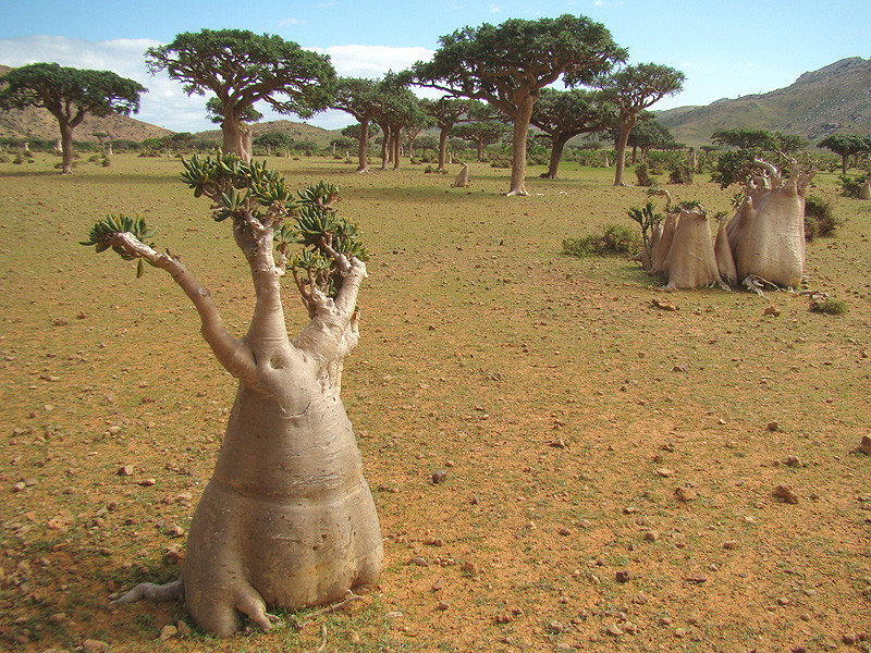 myi2kdr - socotra island, yemen. one of the most alien looking places on earth.