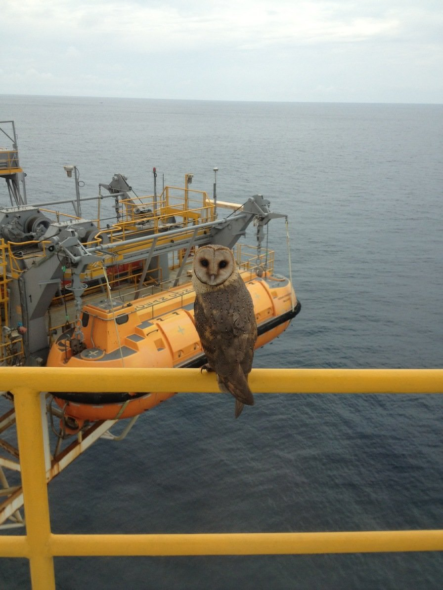 miles offshore wild owl appeared