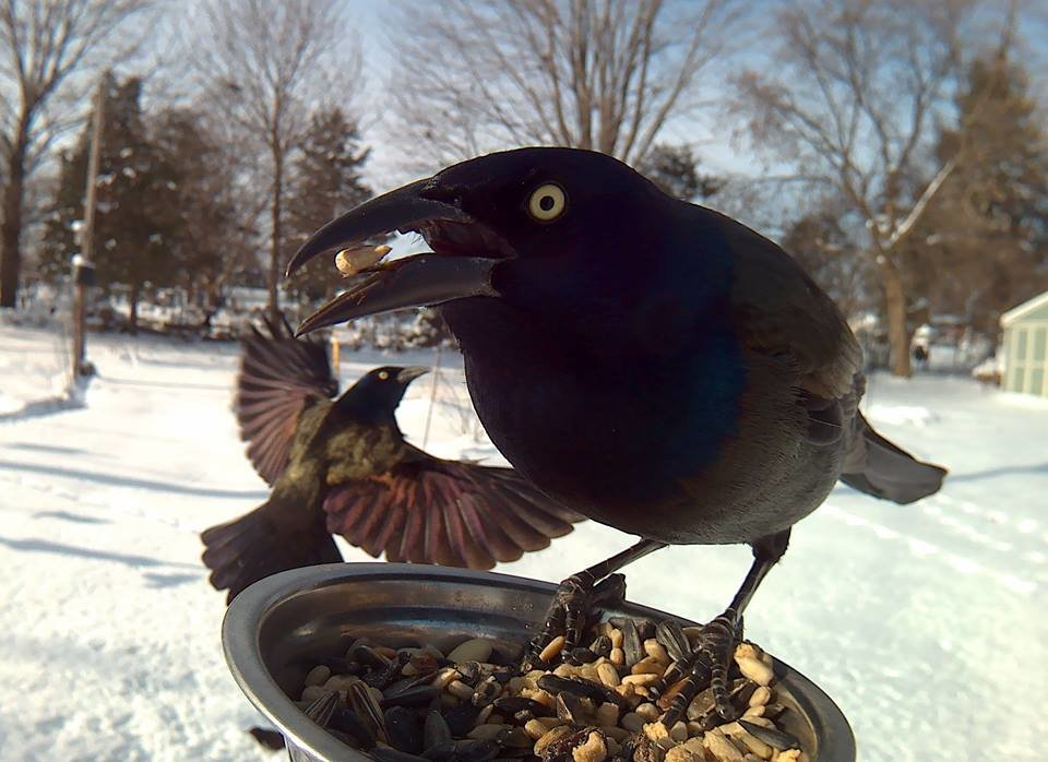 nkrjgdy - birds pose for motion-activated camera