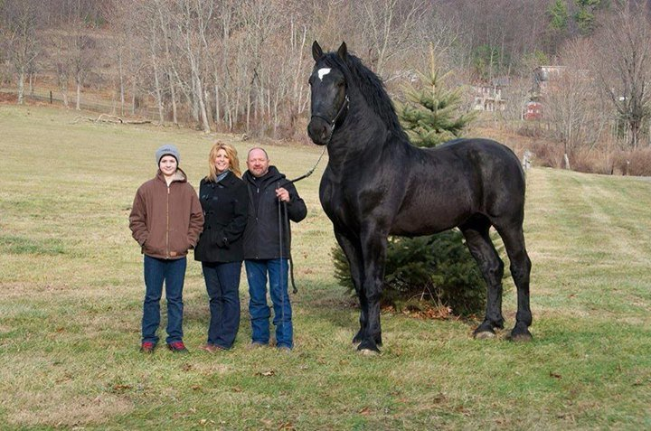 now horse stands hands high currently percheron supreme world champion