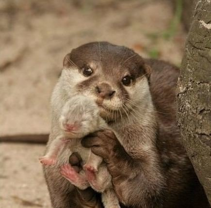 otter showing baby