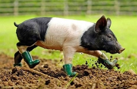 pig wearing green boots