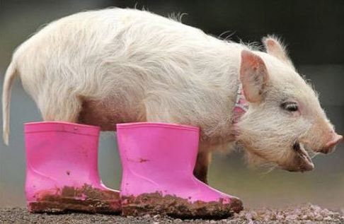 pig wearing pink boots