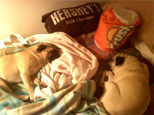 pugs - what does your room look like?