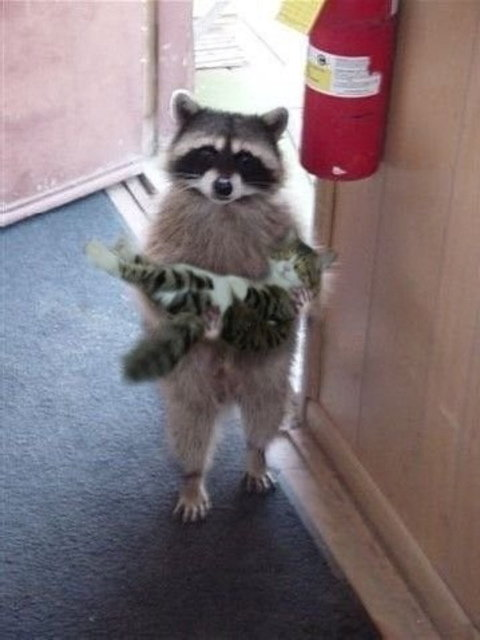 raccoon carrying cat arms all
