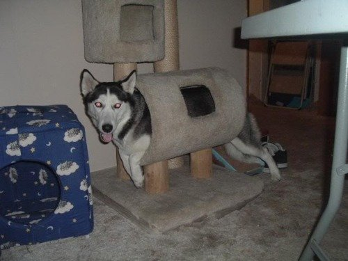 sorry husky youre not cat