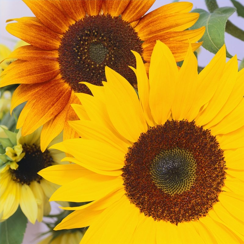 sunflowers - 7 ways we see math in nature