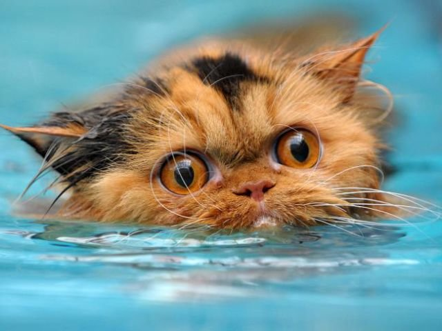 swimming cats are