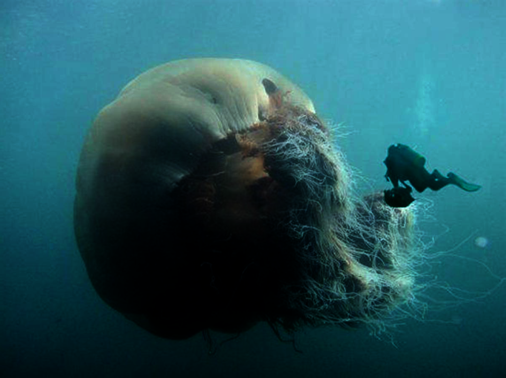 biggest jellyfish will see today