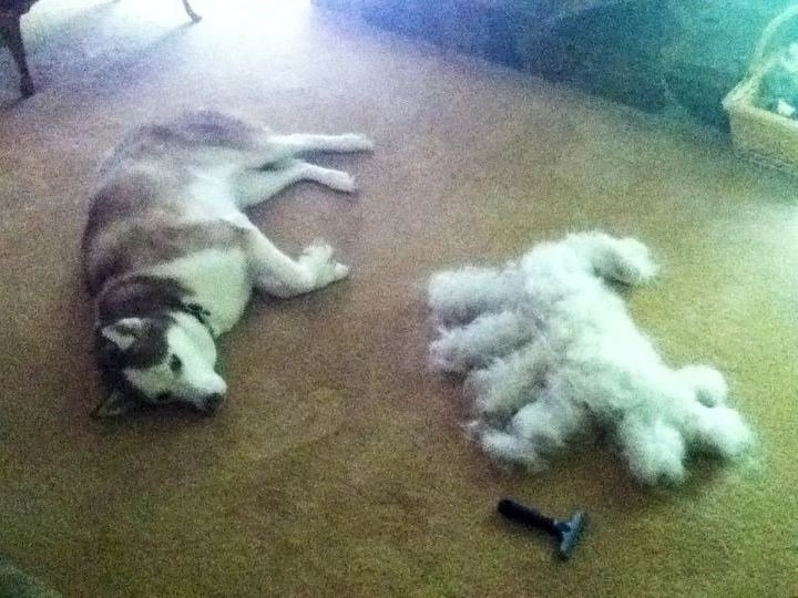 result brushing siberian husky