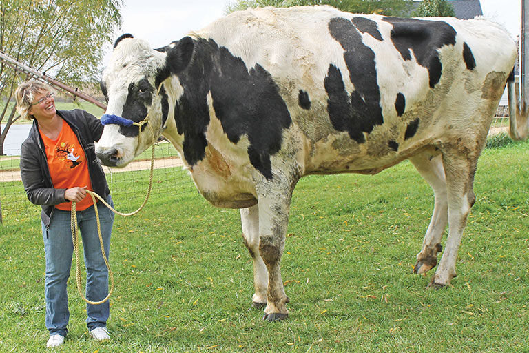 tallest cow