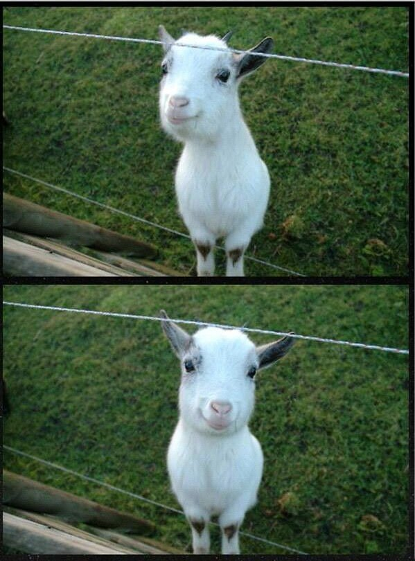 happy goat making feel good everything