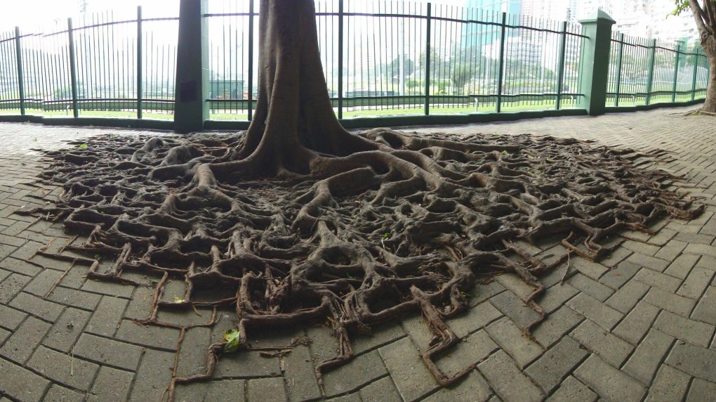 trees roots started growing along brick path