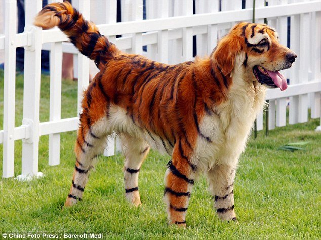 tiger - awesome animals