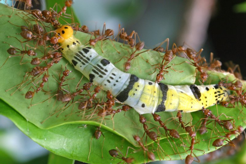 weaver ants attack colorful caterpillar