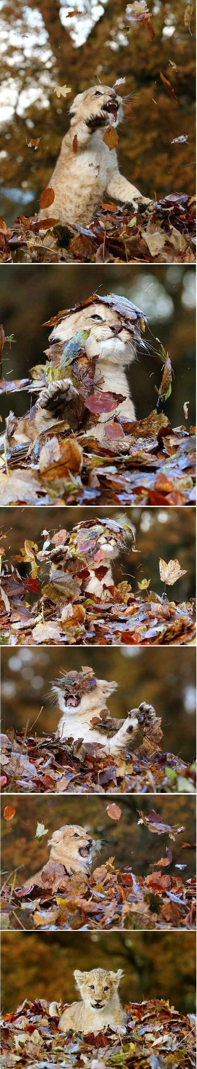 lion plays leaves