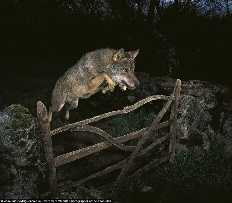 wolf jumping above fence
