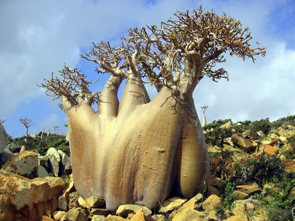 yjowwac - socotra island, yemen. one of the most alien looking places on earth.