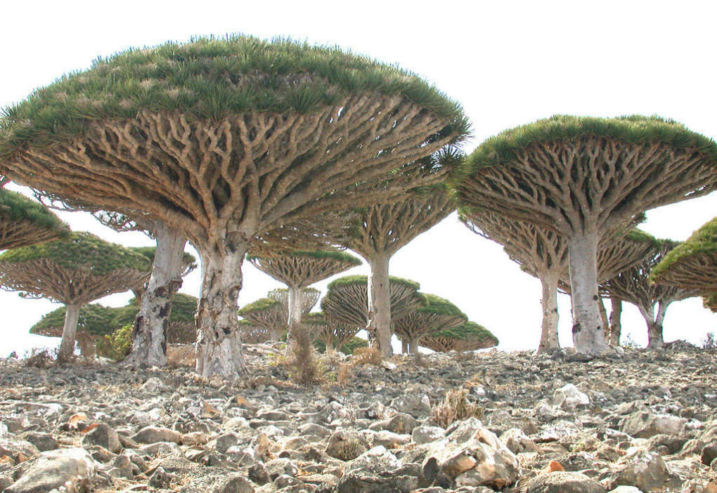 zg025ab - socotra island, yemen. one of the most alien looking places on earth.